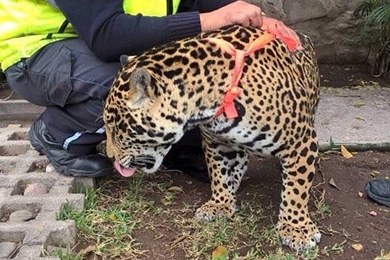 Wild cat gets loose in Ajijic, kills Chihuahua